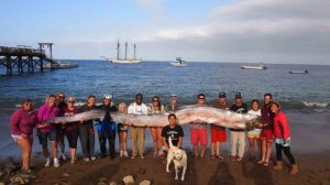 Perhaps you have seen this photo of an 18-foot oarfish that was captured at Catalina Island this summer.  Two words:  Heebie. Jeebie.  Stolen from latimes.com